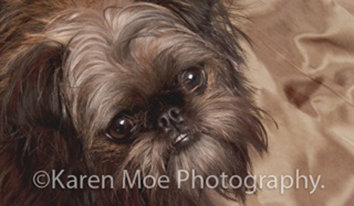 Dog: Bubbles - Brussels Griffon