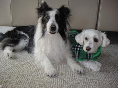 Dog: Moo Moo (Blue Merle Sheltie)